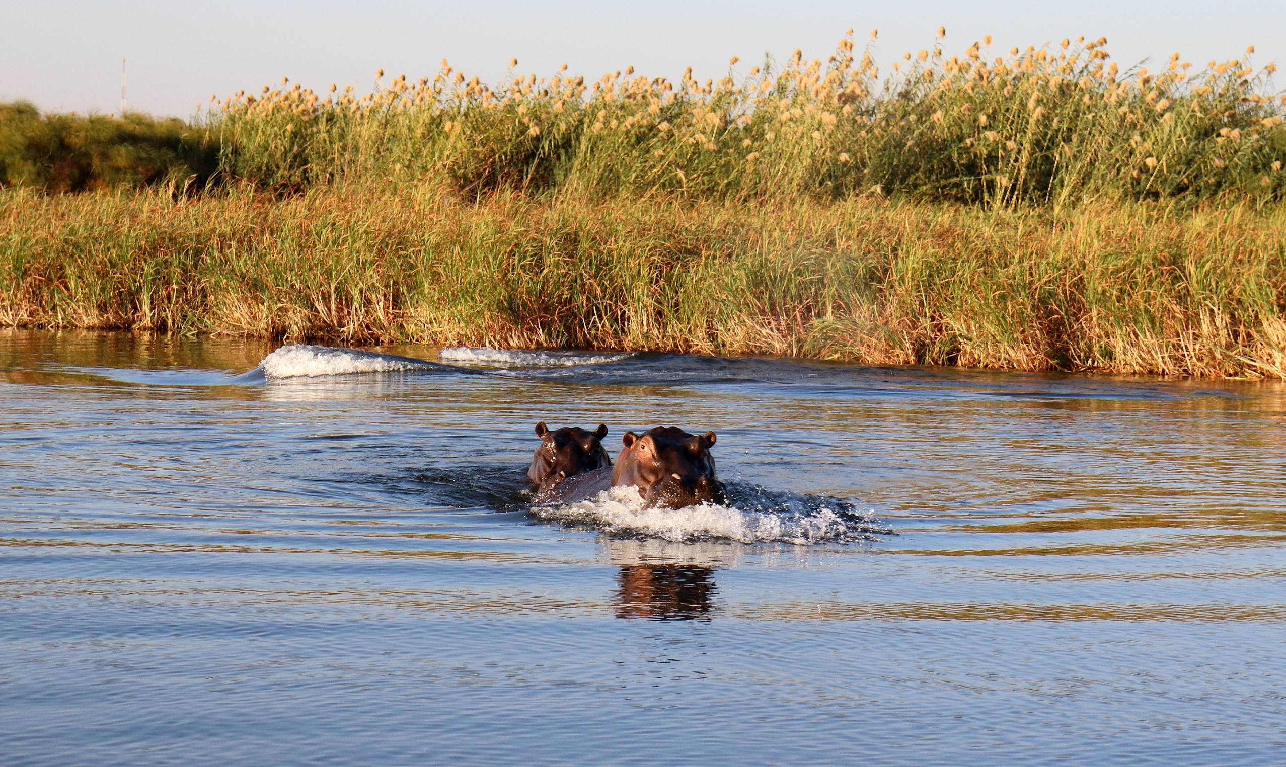 africa, hippos, chobe river, namibia