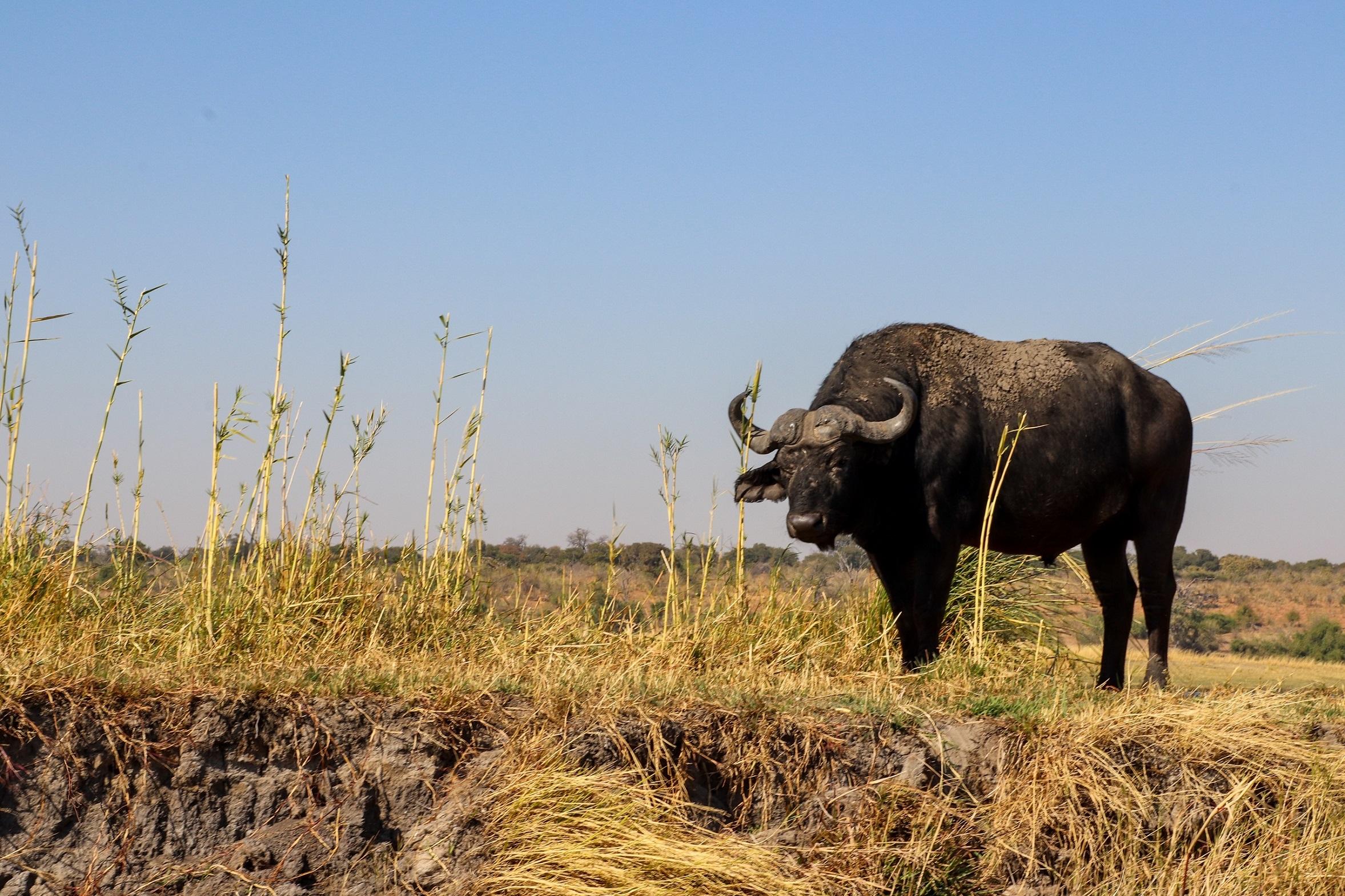 africa, chobe national park, safari