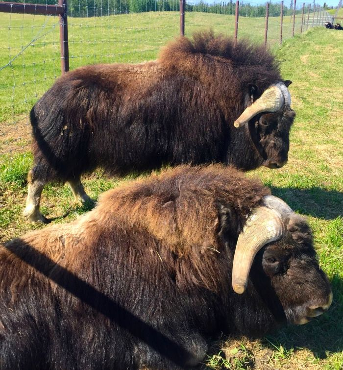 Musk ox just chilling out on the farm