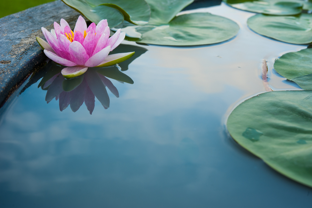 A brief history of the luxurious pink lotus vietnams national flower pink lotus mightylinksfo
