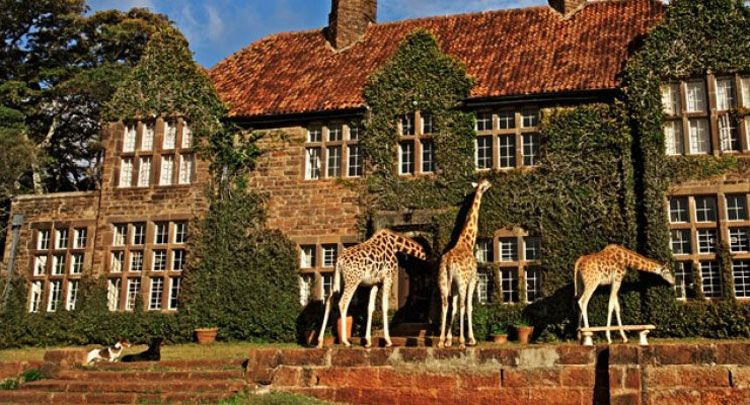 an african hotel where friendly giraffes dine with guests