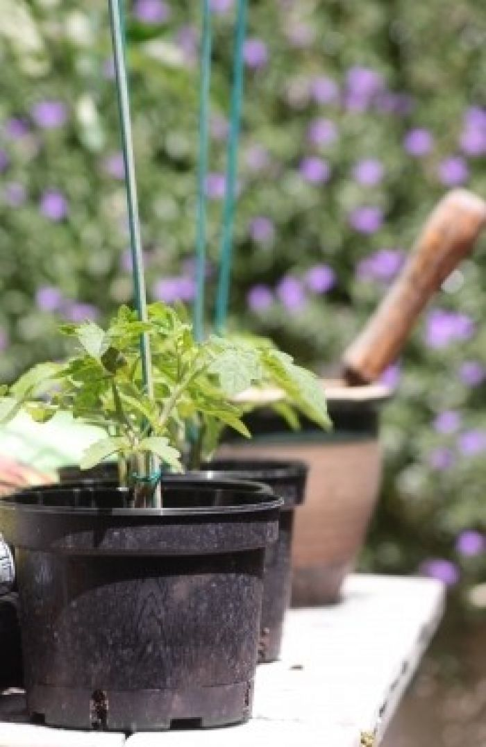 Tomato Plants in a pot