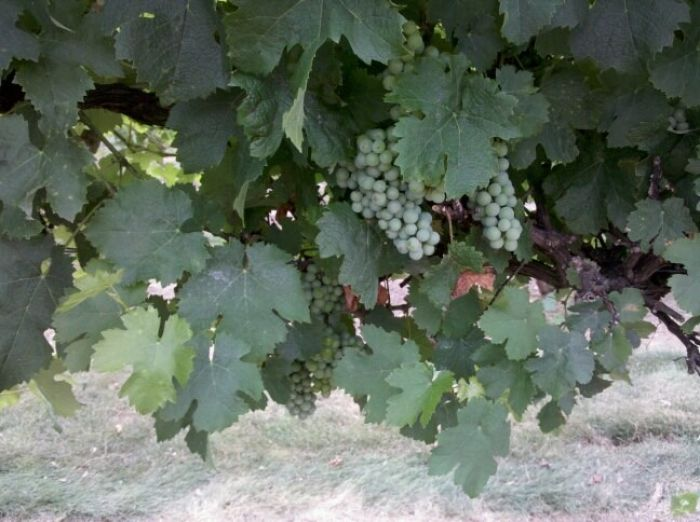 Grapes on the Vine at Franklin Hill Vineyards