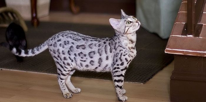 A Bengal Cat costs around $4,500
