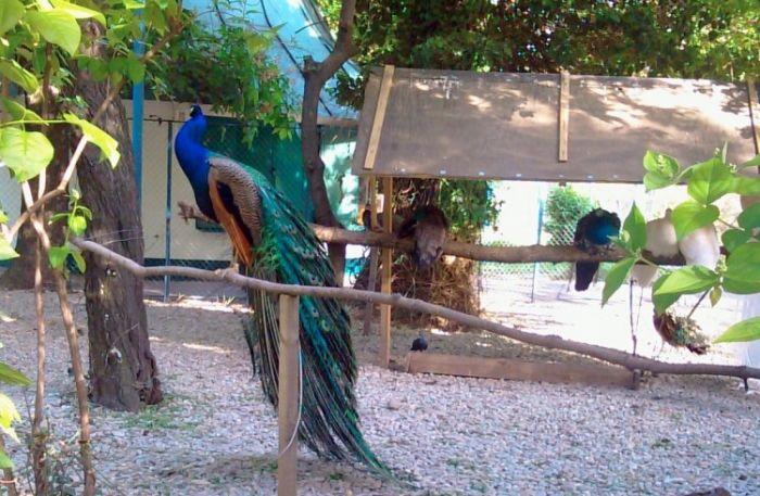 Cismigiu Garden peacock