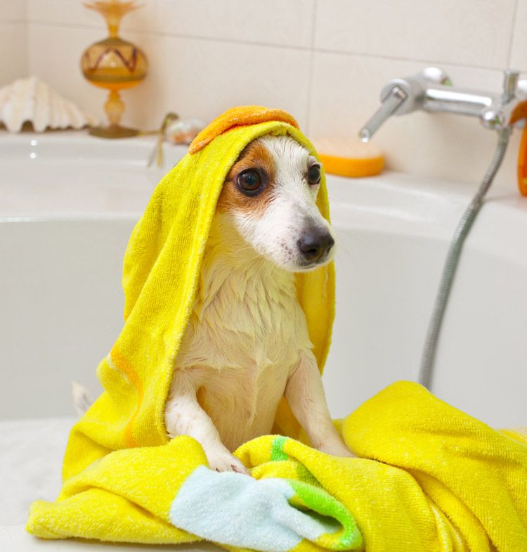 jack russell terrier bath