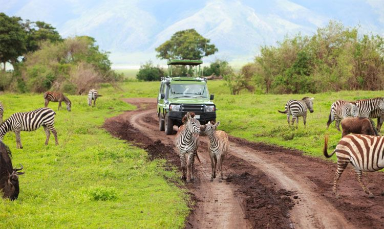 african safari with zebras