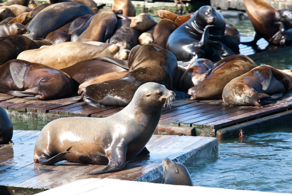 Sea Lions near Pier 39 in San Francisco
