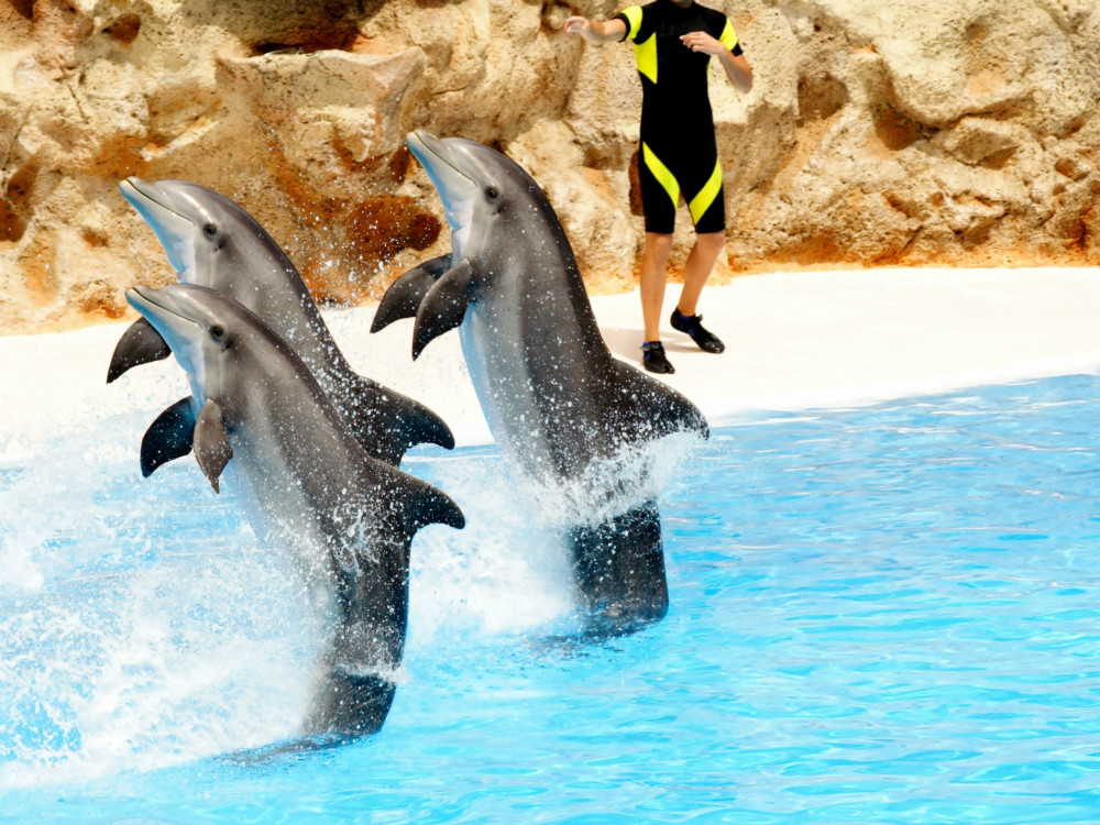 Three bottlenose dolphins performing