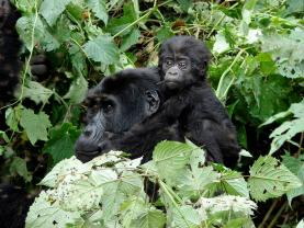 Go Gorilla Trekking Above the Clouds in Uganda's Bwindi Impenetrable Forest