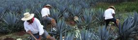 agave farming