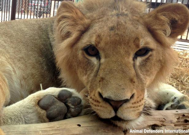 Animal Defenders International, animal rescue