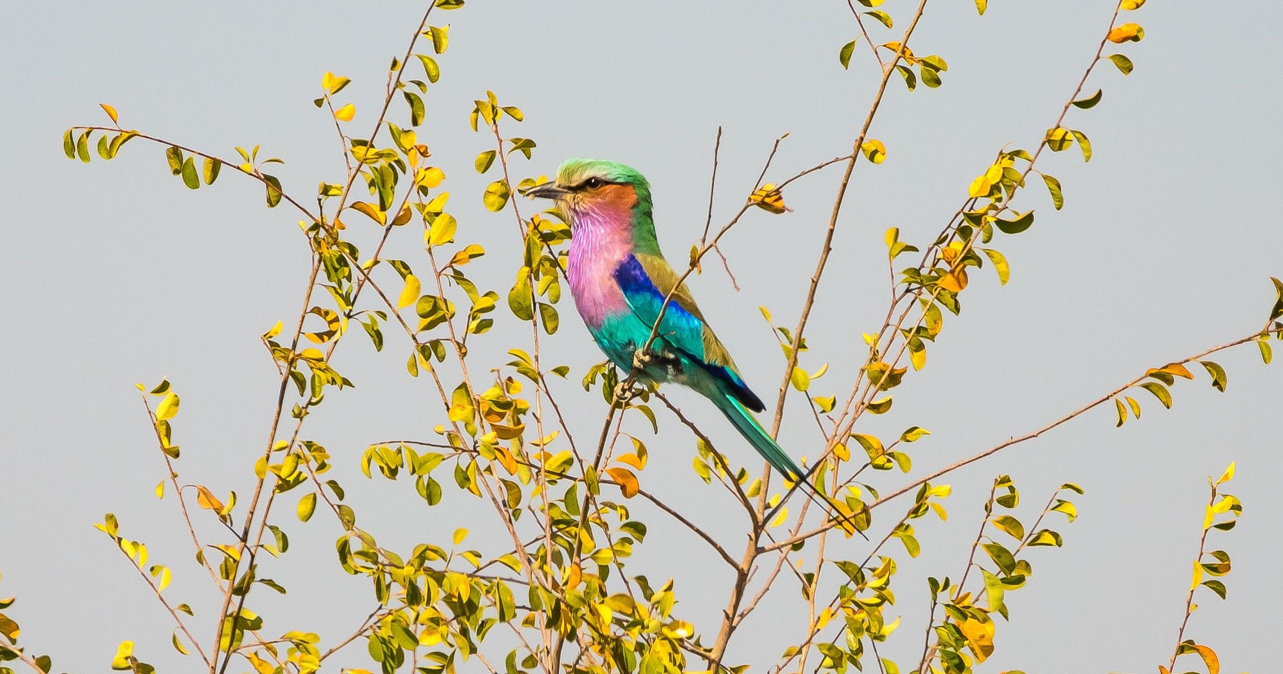 africa, botswana, lilac-breasted roller, safari