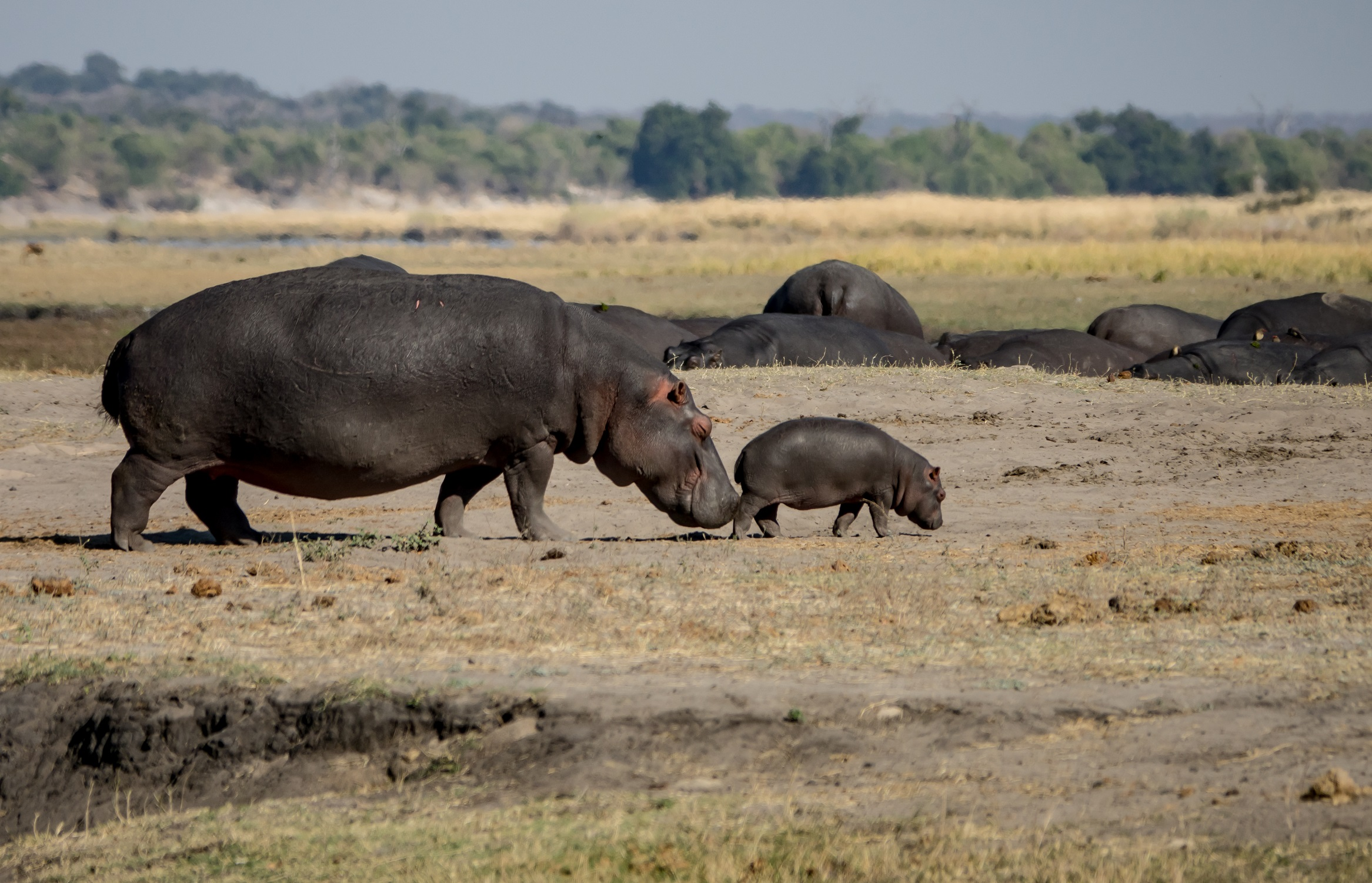 africa, chobe national park, safari